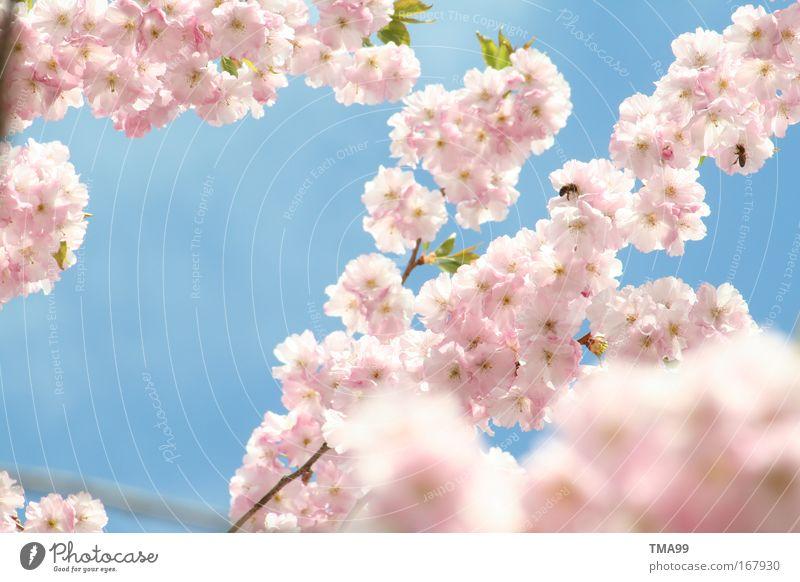 bienen - treiben I Farbfoto mehrfarbig Außenaufnahme Menschenleer Textfreiraum links Textfreiraum Mitte Tag Sonnenlicht Baum Blüte Tier Biene Blühend Duft blau