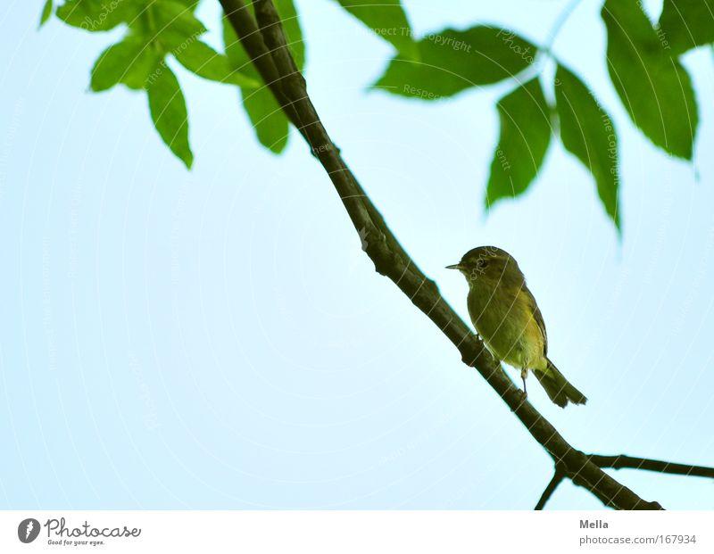 Halbe Vogelhochzeit Umwelt Natur Tier Wolkenloser Himmel Frühling Sommer Pflanze Baum Blatt Wildtier Flügel Zilpzalp Fitis Grasmücke 1 sitzen frei natürlich