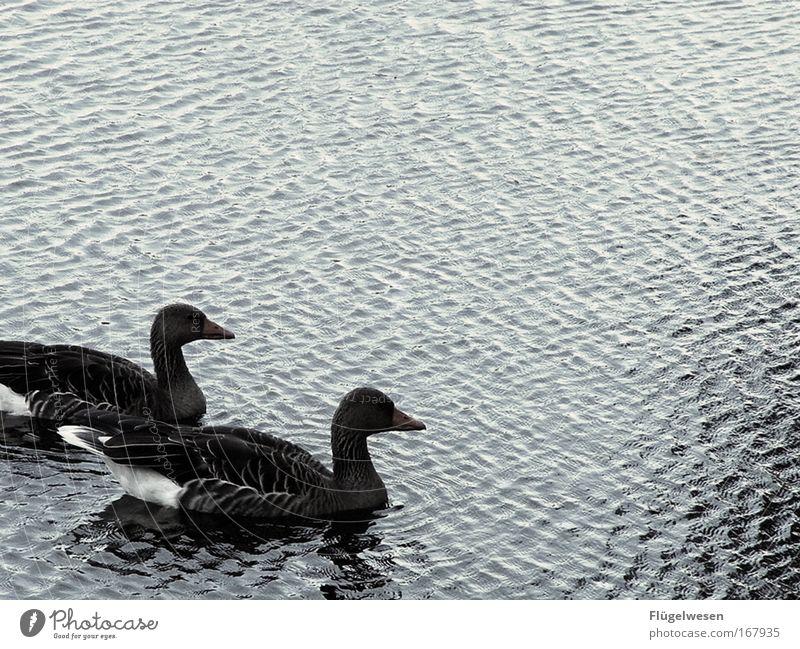So ein scheiß triefendes Schnulzenfoto, ich könnt kotzen! Liebe See Tierpaar niedlich Romantik Verliebtheit Teich Ente Treue Entenvögel Tierliebe Ententeich