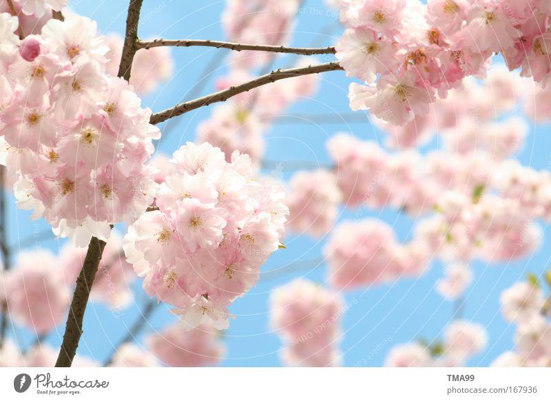 bienen - treiben II Baum blau Blüte rosa Blühend Duft