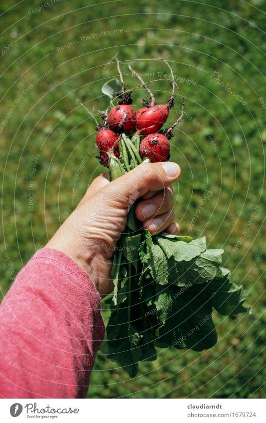 Eigene Ernte Lebensmittel Gemüse Radieschen Ernährung Bioprodukte Vegetarische Ernährung Slowfood Arme Hand 1 Mensch Umwelt Natur Pflanze Sommer Nutzpflanze