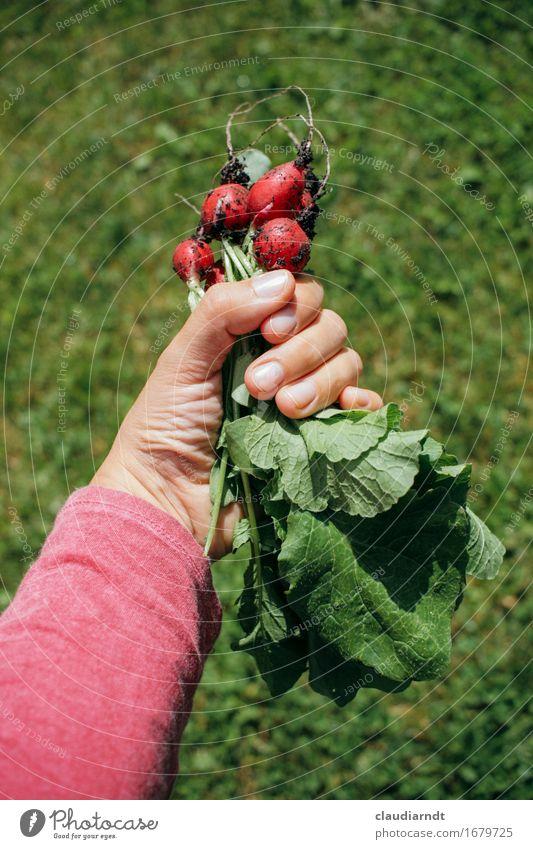 Erste Ernte Natur Pflanze Sommer grün Hand rot Umwelt Gesundheit Garten Lebensmittel frisch Ernährung Arme Finger festhalten lecker
