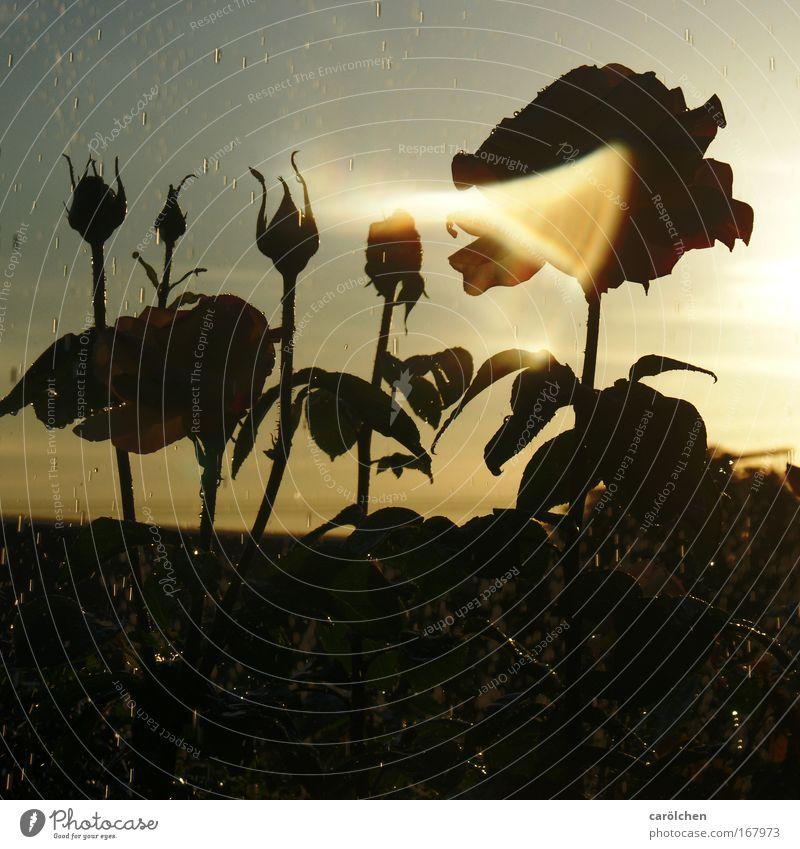 Rosen in Regen und Sonne Pflanze dunkel Horizont ästhetisch leuchten Leidenschaft Schönes Wetter Stolz dramatisch altmodisch Barock