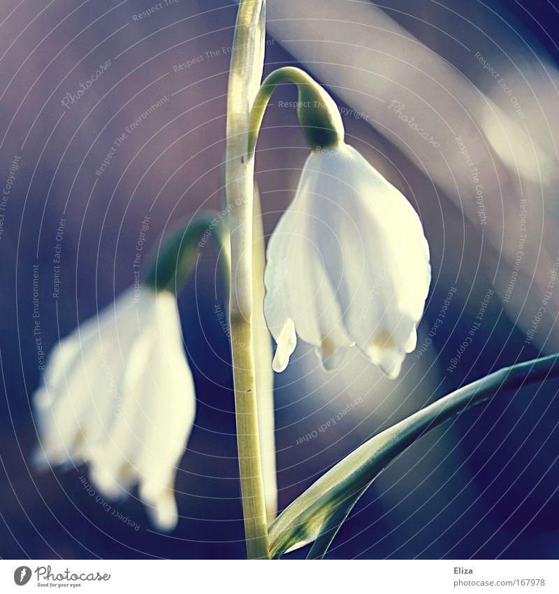 Frühlingserinnerung alt Blume Pflanze weich Kitsch zart sanft altehrwürdig Schneeglöckchen Lichtstimmung