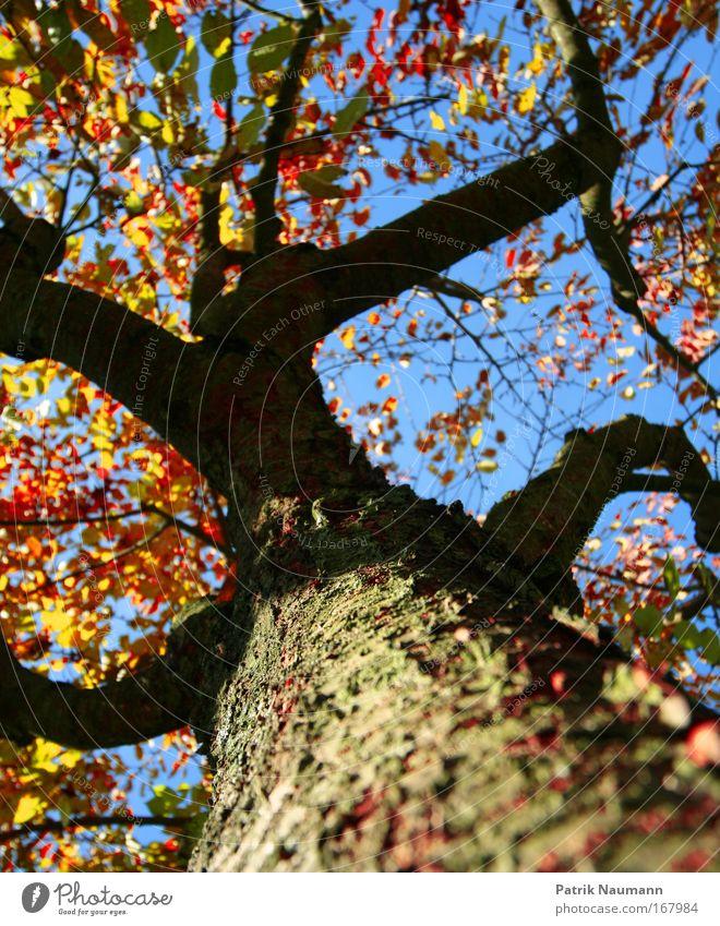 nur ein Baum Natur Himmel blau rot Sommer schwarz gelb Farbe Wald Herbst oben groß natürlich Blühend