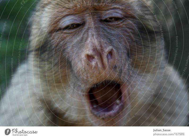 Affe Tier Wildtier Tiergesicht Zoo 1 exotisch Affen gähnen Farbfoto Außenaufnahme Tag Sonnenlicht Schwache Tiefenschärfe Zentralperspektive Tierporträt