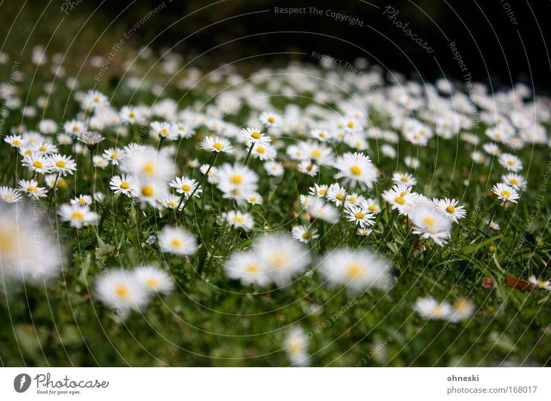 Gänsblümchenalarm Muster Unschärfe Umwelt Natur Pflanze Sommer Schönes Wetter Wärme Blume Blüte Garten Wiese Duft frisch Unendlichkeit weich gelb grün