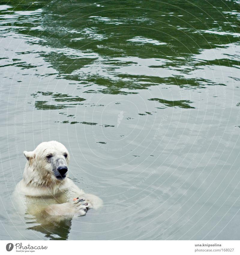 tu mal lieber die möhrchen Wasser Tier Schnee Schwimmen & Baden Eis Wildtier Zoo Fressen Klimawandel Arktis Bär Geografie Nordpol Eisbär Polarkreis