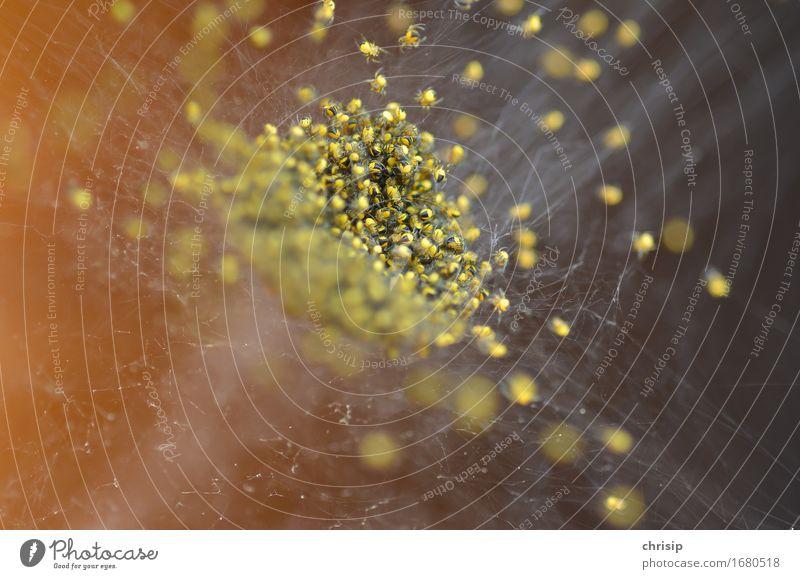 gruppenkuscheln Umwelt Natur Tier Wildtier Spinne Tiergruppe Schwarm Rudel außergewöhnlich bedrohlich Ekel exotisch klein gelb schwarz gefährlich Netz