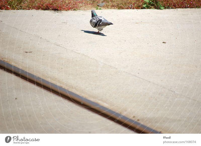 [PC-Usertreff Ffm]: Asphaltschwalbe Stadt ruhig Einsamkeit Tier Straße Wege & Pfade Vogel laufen stehen Sträucher Gelassenheit Neugier Langeweile Taube