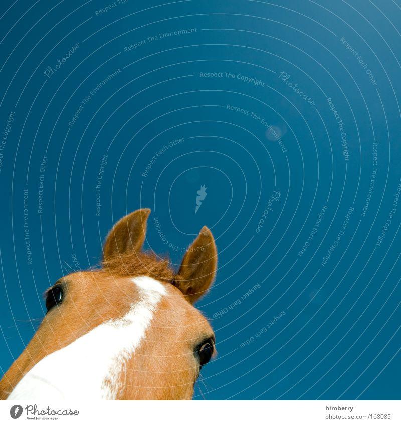 ponyschnitt schön Himmel weiß blau Tier Leben Gefühle Glück Zufriedenheit braun Pferd Fröhlichkeit ästhetisch Coolness nah einfach