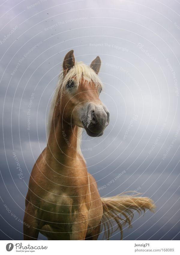 Haflinger. Natur Himmel Wolken Tier Pferd ästhetisch Haustier Schwanz Reiten Nutztier Gewitterwolken