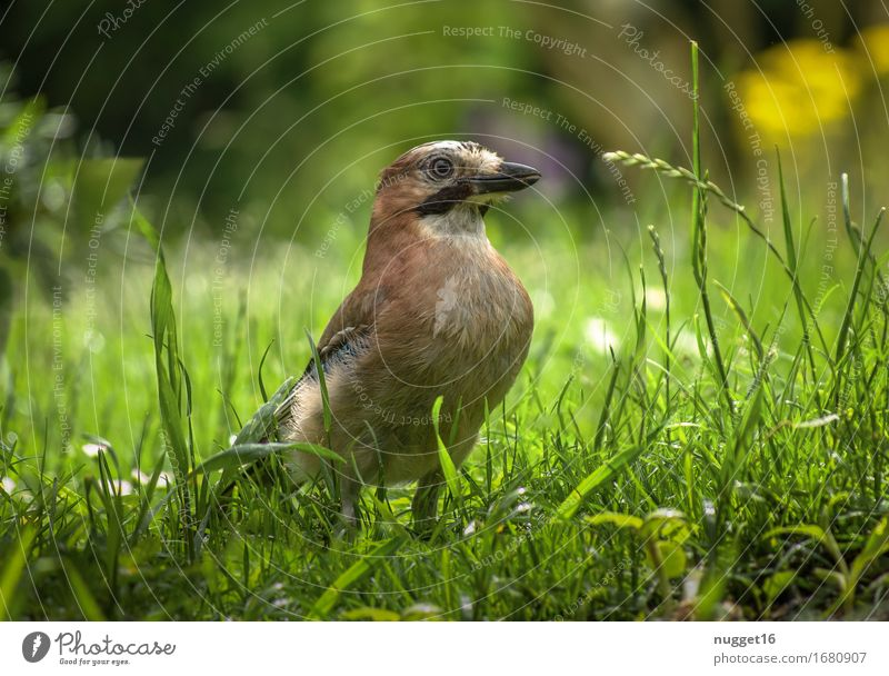 stolz wie Bolle Natur Tier Gras Garten Park Wald Wildtier Vogel 1 sitzen authentisch natürlich blau braun gelb grün orange Lebensfreude Frühlingsgefühle schön