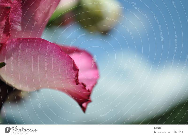 Ausgefranste Romantik Himmel blau schön Pflanze Blume Blüte rosa Rose zart Blumenstrauß Blütenblatt