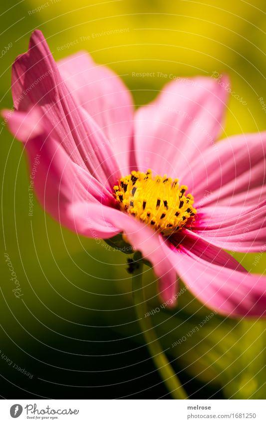 pretty in pink elegant Stil Natur Pflanze Sommer Schönes Wetter Blume Blatt Blüte Wildpflanze Blütenpflanze blütenblattartig Blütenstiel Blütenstempel Park