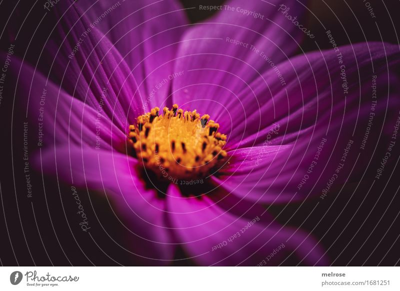 Spotlight elegant Stil Natur Sommer Schönes Wetter Pflanze Blume Blatt Blüte Wildpflanze Blütenstauden Blütenstempel Blütenpflanze Garten Park Bühnenbeleuchtung