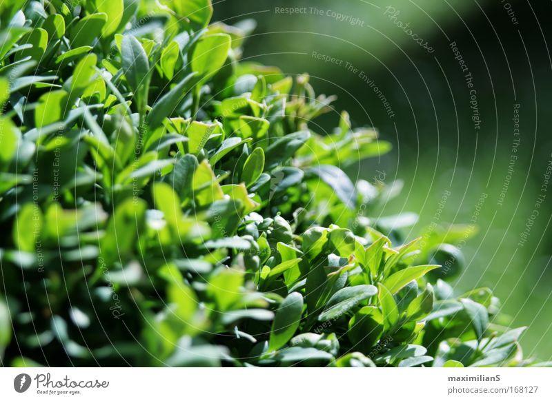 Der grüne Busch Natur schön Pflanze Blatt Wiese Gras Park Landschaft Wetter Umwelt rund Sträucher Sauberkeit einzigartig fantastisch