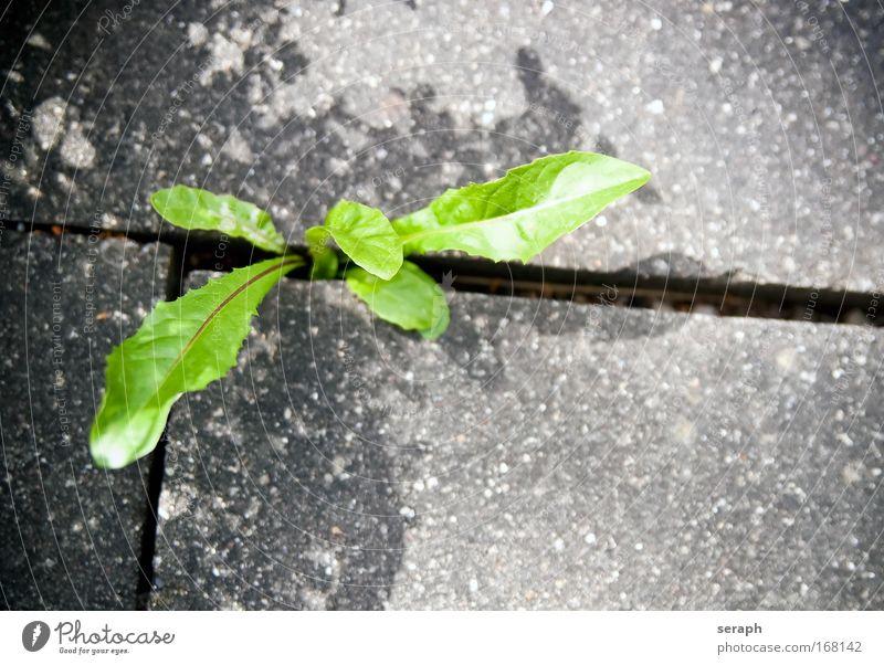 Löwenzahn Natur Blume grün Pflanze Beton frisch Wachstum Boden Löwenzahn Botanik Lücke Alternativmedizin pflanzlich geblümt Heilpflanzen