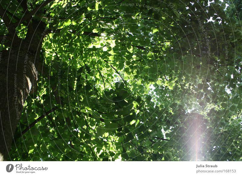 Baum Natur Baum grün Sommer Blatt schwarz Garten braun seriös