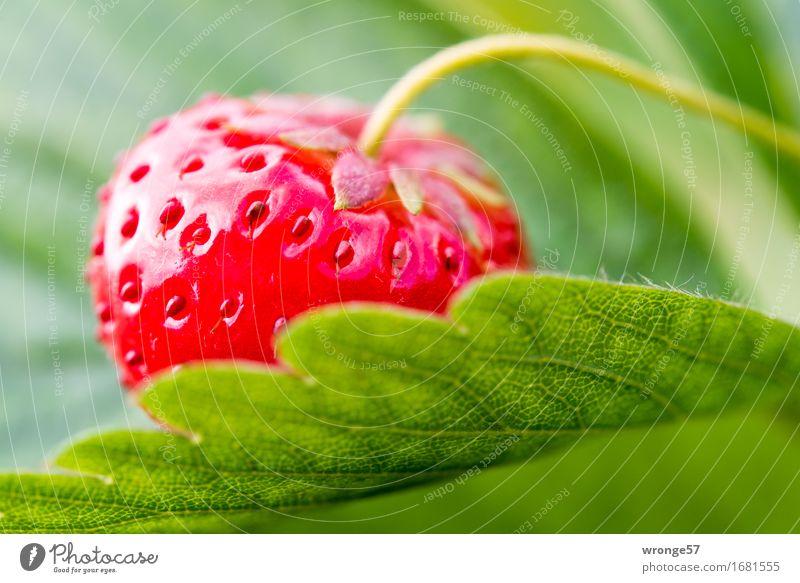 Erdbeerzeit Lebensmittel Frucht Erdbeeren Ernährung Vegetarische Ernährung frisch Gesundheit süß grün rot saftig Sommer Blatt Makroaufnahme Plantage Feld