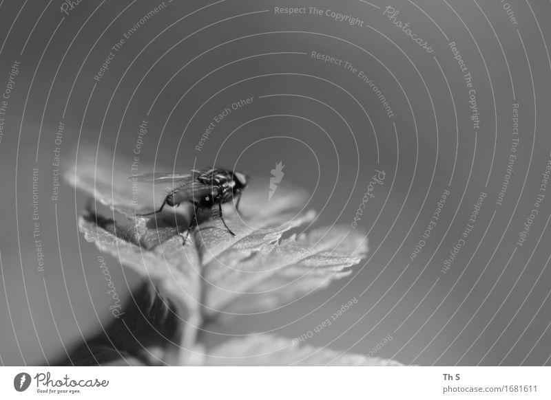 Fliege Natur Pflanze Frühling Sommer Blatt 1 Tier warten ästhetisch authentisch einfach elegant natürlich grau schwarz weiß Gelassenheit geduldig ruhig