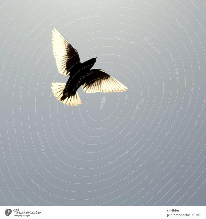 Superstar -75- Außenaufnahme Textfreiraum unten Silhouette Gegenlicht Natur Tier Luft Himmel Wolkenloser Himmel Vogel Flügel 1 fliegen Glück blau