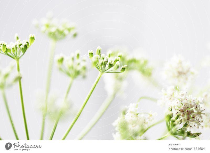 Sommersternchen Design harmonisch Garten Umwelt Natur Pflanze Frühling Wildpflanze Gewöhnliche Schafgarbe Gefleckter Schierling Doldenblütler Feld Blühend