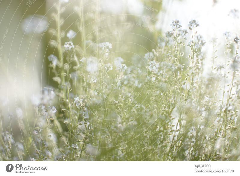 Sommeranfang Farbfoto Außenaufnahme Tag Licht Gegenlicht High Key Schwache Tiefenschärfe Zentralperspektive Umwelt Natur Pflanze Blume Gras Blüte Grünpflanze