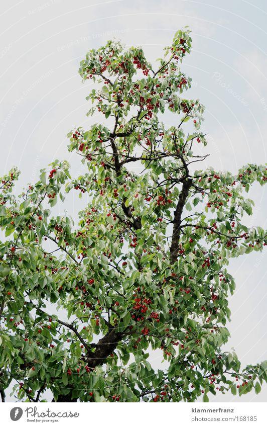Kirschen mit Baum Natur Baum grün Pflanze rot Sommer Ernährung Farbe hell Kraft Frucht hoch Ausflug Wachstum Idylle Blühend