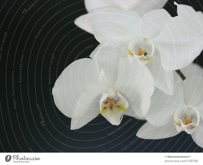 Vielen Dank für die Blumen Natur weiß schön Pflanze Blume schwarz Erholung Blüte Stil elegant natürlich ästhetisch Romantik Wellness Blühend Duft