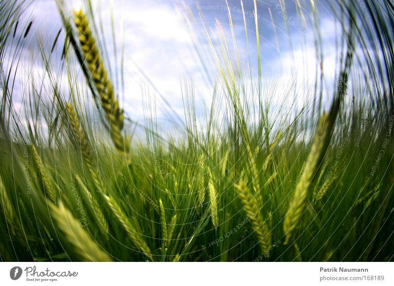 im Feld Farbfoto Außenaufnahme Nahaufnahme Tag Fischauge Natur Landschaft Himmel Wolken Frühling Sommer Wetter Schönes Wetter Wärme Pflanze Gras Grünpflanze