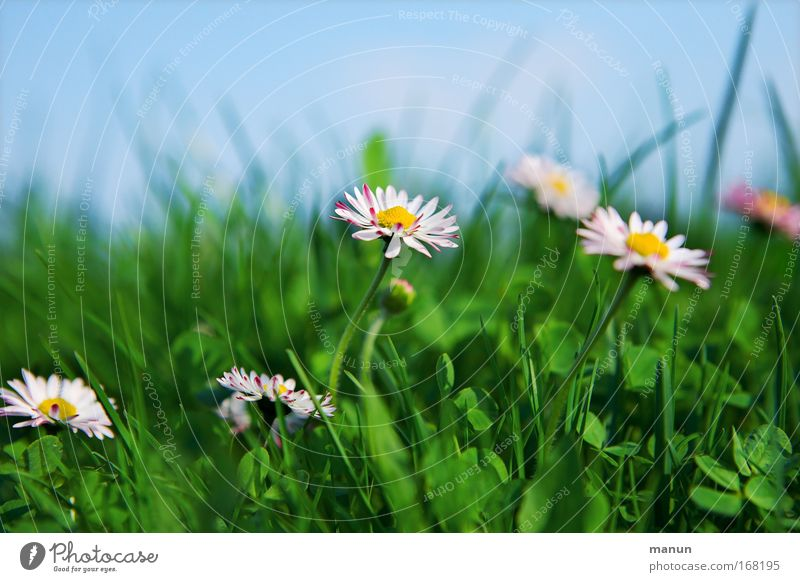 Gänseblümchen Himmel Natur blau Pflanze schön grün weiß Sommer Blume ruhig Umwelt Leben Wiese Gras Frühling natürlich