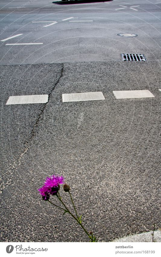Blume und Strasse Pflanze Sommer Straße Blüte Traurigkeit Straßenverkehr Verkehr Wachstum Vergänglichkeit Hinweisschild Verzweiflung Verkehrswege Sorge