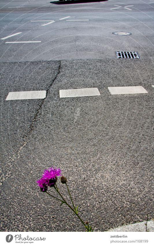 Blume und Strasse Pflanze Sommer Straße Blüte Traurigkeit Straßenverkehr Verkehr Wachstum Vergänglichkeit Hinweisschild Verzweiflung Verkehrswege Sorge Straßenkreuzung Zukunftsangst Verkehrszeichen