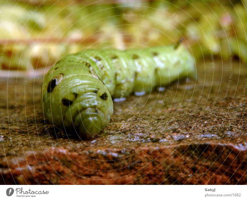 glibschig grün Insekt Schmetterling Mitte Glätte Reptil Wurm Raupe verwandeln Metamorphose Weinschwärmer