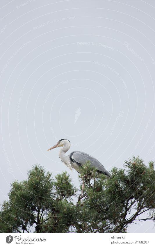 Fischreiher Gedeckte Farben Textfreiraum oben Textfreiraum Mitte Tierporträt Himmel Baum Wildtier Vogel Graureiher Reiher 1 sitzen elegant grau fliegen