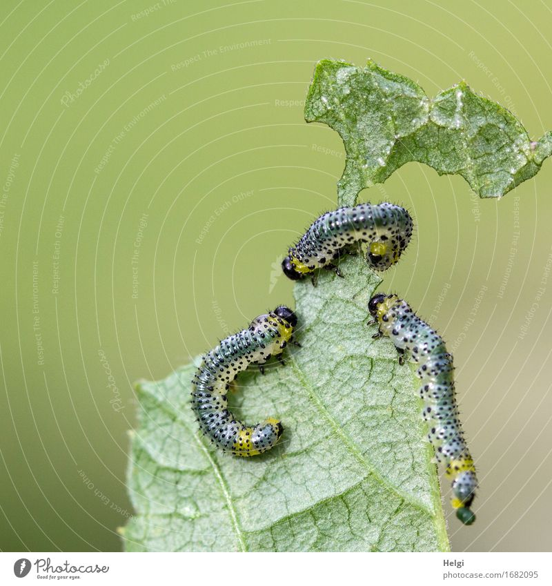 da sind sie wieder... Umwelt Natur Pflanze Tier Blatt Nutzpflanze Garten Wildtier Raupe 3 krabbeln authentisch Zusammensein einzigartig klein natürlich gelb