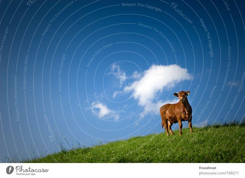 Methanwolke Sommer Wolken Tier Leben Rind Gras Landschaft braun Umwelt ästhetisch stehen beobachten Kuh Schönes Wetter einzeln Klischee