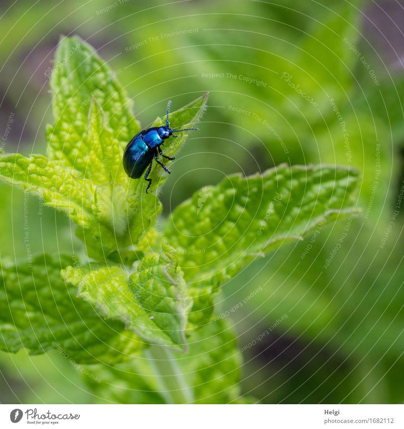 Minzeblattkäfer Natur Pflanze Sommer grün Blatt Tier schwarz Umwelt Leben Gesundheit Garten grau Zufriedenheit Wachstum frisch authentisch