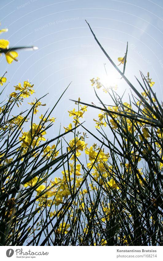 kein Mohntag Natur Blume blau Pflanze Sommer gelb Farbe Gefühle Wärme hell Feld Umwelt frei lang unten Duft