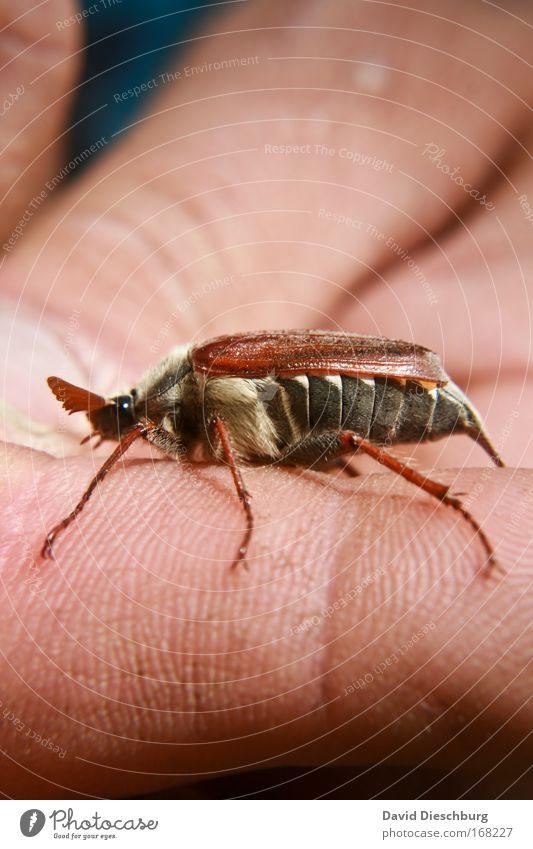 Morz Maikäfer Natur Hand Tier Frühling Kopf Beine braun Wildtier Flügel Insekt Käfer Fühler Mai Mensch Maikäfer