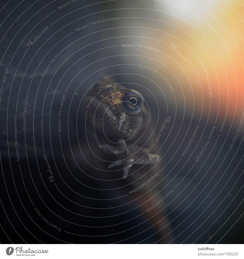 Mist - entdeckt! Farbfoto Makroaufnahme Umwelt Natur Moor Sumpf Teich See Tier Frosch Aquarium 1 beobachten niedlich Auge Tarnung Finger Blick gucken kucken