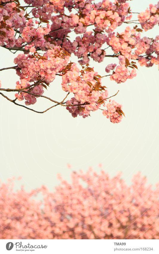 Ich bin ein Mädchen. Himmel Baum blau Blüte grau träumen rosa frisch Blühend Duft Wolkenloser Himmel