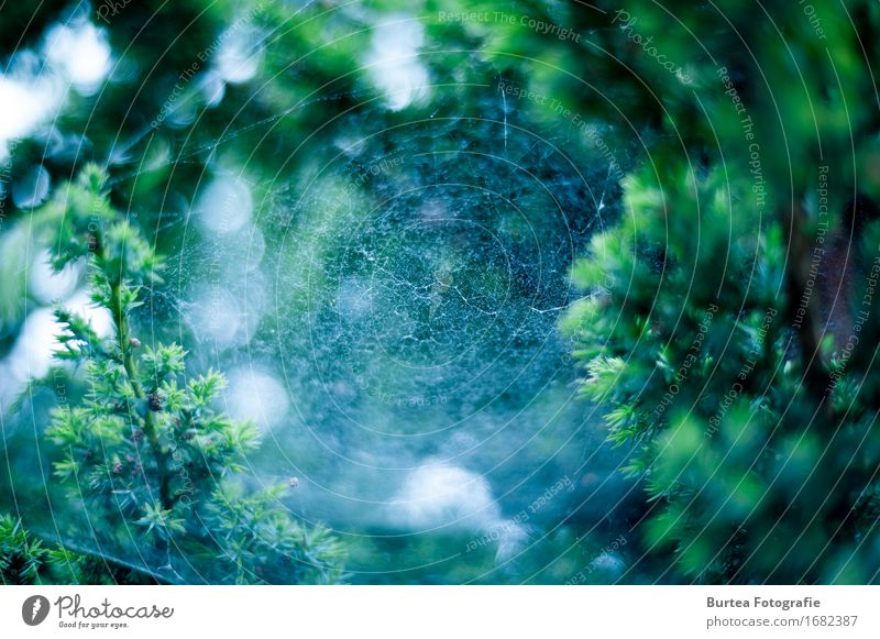 Spiderweb Umwelt Pflanze Sommer Schönes Wetter Sträucher Garten Spinne blau grün 2016 D700 Nikon Spinnennetz Tropfen Unschärfe Burtea Fotografie 50MM