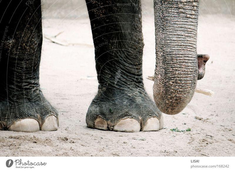 benjamin Farbfoto Gedeckte Farben Außenaufnahme Nahaufnahme Detailaufnahme Menschenleer Tag Tierporträt Natur Landschaft Erde Sand Wildtier Zoo Elefant