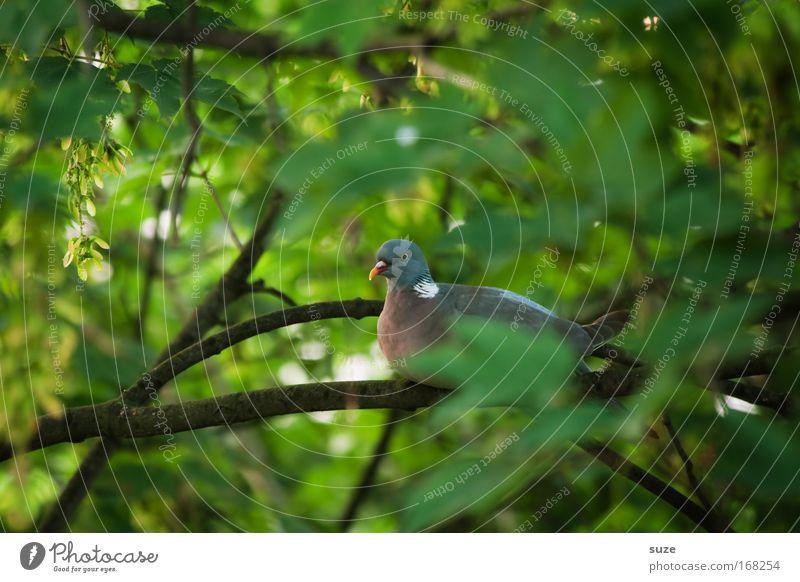 Taube Natur grün Pflanze Baum Blatt Tier Umwelt Vogel sitzen authentisch beobachten entdecken verstecken Taube Geäst geduldig