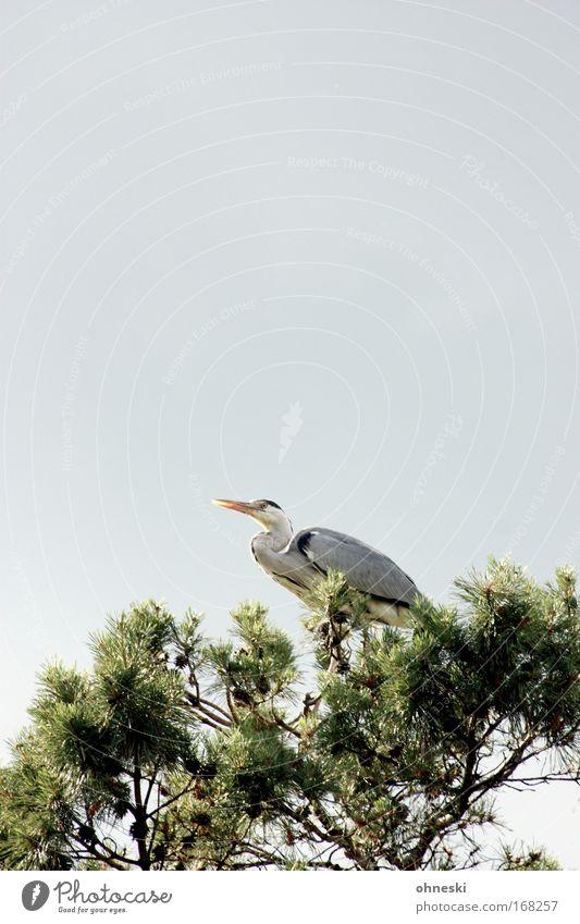 Fischreiher II Natur Himmel Baum grün Sommer ruhig Wolken Tier Erholung grau Luft Zufriedenheit Vogel hoch sitzen beobachten
