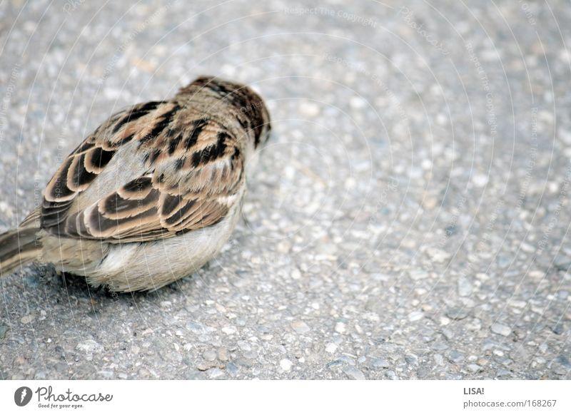 taube auf dem dach Tier schwarz grau klein braun Vogel Wildtier Geschwindigkeit Flügel Feder Asphalt Spatz gefiedert