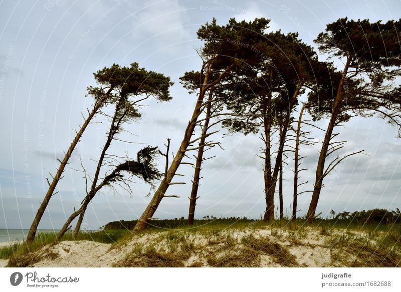 Weststrand Umwelt Natur Landschaft Pflanze Himmel Wolken Klima Wetter Wind Sturm Baum Küste Ostsee Fischland-Darß-Zingst außergewöhnlich natürlich Windflüchter