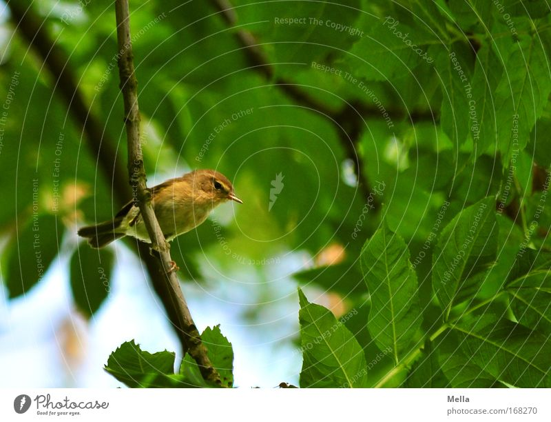 Halbe Vogelhochzeit II Natur Baum grün Pflanze Sommer Blatt Tier Frühling Vogel klein Umwelt frei sitzen natürlich festhalten Wildtier